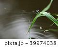 イトトンボ トンボ 産卵の写真 39974038