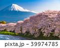 《京都府》桜満開の鴨川 39974785