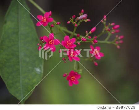 熱帯アメリカ;カリブ海沿岸;ペルー;ナンヨウサクラ;Jamaican Cherry 39977029