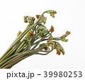 わらび 蕨 植物の写真 39980253