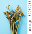 わらび 蕨 植物の写真 39980255