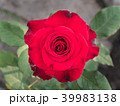 Red Rose Blooming 39983138