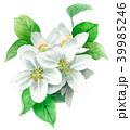 りんご 花 バラ科のイラスト 39985246