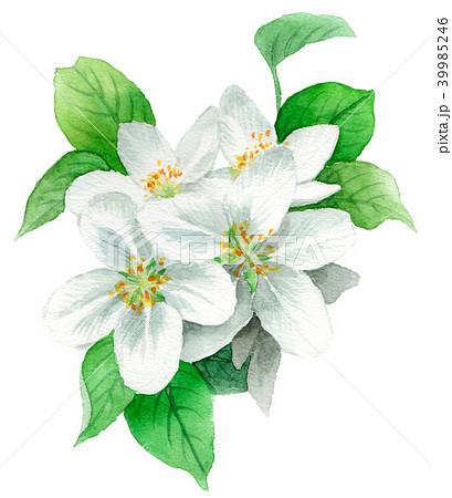 水彩で描いたりんごの花 39985246