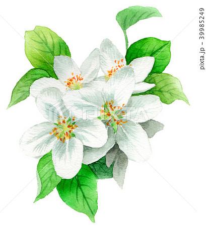 水彩で描いたりんごの花 39985249