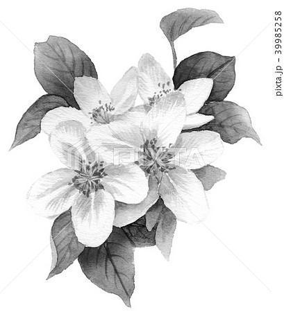 水彩で描いたりんごの花モノトーン 39985258