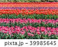 チューリップ畑 チューリップ 花の写真 39985645