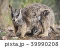 動物 哺乳類 ワラビーの写真 39990208