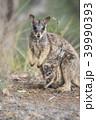 動物 哺乳類 ワラビーの写真 39990393