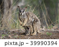 動物 哺乳類 ワラビーの写真 39990394