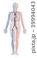 循環器系 循環器 血管のイラスト 39994043