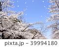 桜 染井吉野 春の写真 39994180
