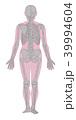 骨格系 骨格 全身のイラスト 39994604
