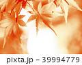 紅葉 モミジ 楓の写真 39994779