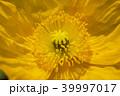 ポピー アイスランドポピー 花の写真 39997017