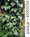 蔦の葉 40003594