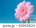 ガーベラ 花 植物の写真 40003624