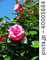 八重咲き 椿 花の写真 40003684
