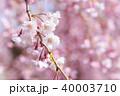 枝垂桜イメージ 40003710