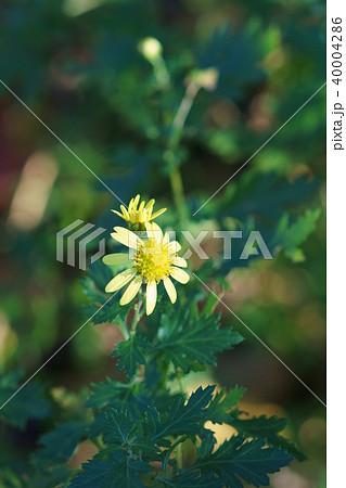 島寒菊 シマカンギク 花言葉は「繊細」 40004286