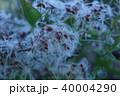 仙人草の実 これが仙人の髭です。 40004290