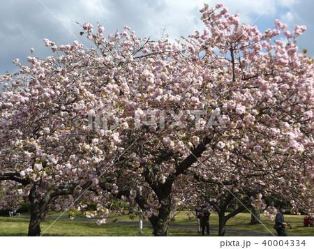 ソメイヨシノよりも後に咲くヤエザクラの桃色の花 40004334