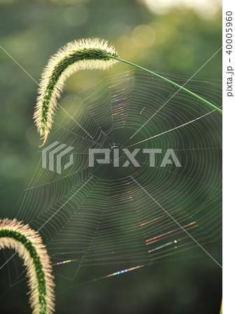 朝日に輝く蜘蛛の巣-19152 40005960