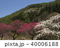 信州 長野県上田市武石 余里の一里の花桃 40006188