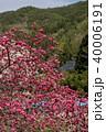信州 長野県上田市武石 余里の一里の花桃 40006191