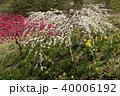 信州 長野県上田市武石 余里の一里の花桃と水仙 40006192