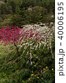 信州 長野県上田市武石 余里の一里の花桃と水仙 40006195