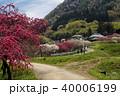 余里 一里の花桃 花桃の写真 40006199