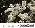 信州 長野県上田市武石 余里の一里の花桃 40006206