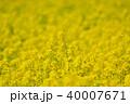 菜の花 アブラナ 菜の花畑の写真 40007671