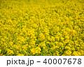菜の花 アブラナ 菜の花畑の写真 40007678