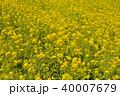 菜の花 アブラナ 菜の花畑の写真 40007679