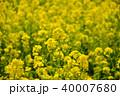 菜の花 アブラナ 菜の花畑の写真 40007680