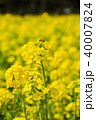 菜の花 蜂 蜜蜂の写真 40007824