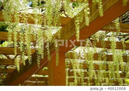 秋篠寺・藤の花2 40012008