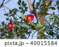 椿 花 植物の写真 40015584