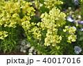 神奈川県横浜市春の里山ガーデン!トゥイニーイエロー 40017016