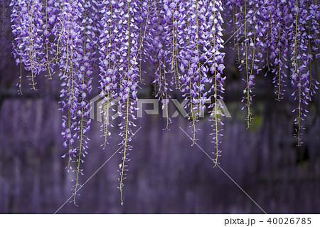 藤の花 40026785