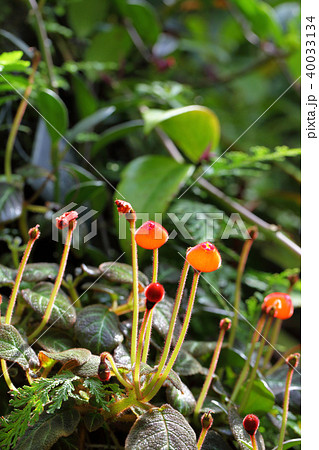 ペアルケア・ヒポキルティフローラの花 40033134
