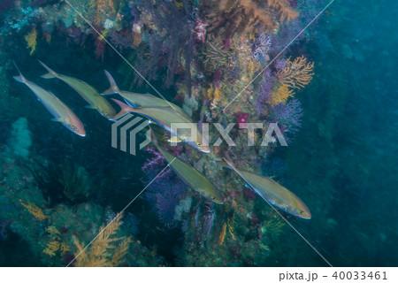 人工魚礁を回遊するカンパチ。三重県尾鷲市 40033461