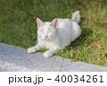 白いネコ 40034261