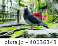 鳩 鳥 鳥類の写真 40036343