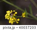 ミツバチ 菜の花 ハチの写真 40037203