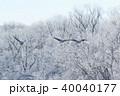 鳥 野鳥 タンチョウの写真 40040177