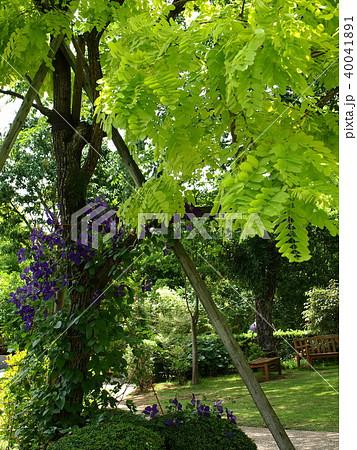 初夏の木陰に咲くクレマチス 40041891