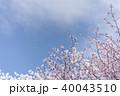 桜 花 春の写真 40043510